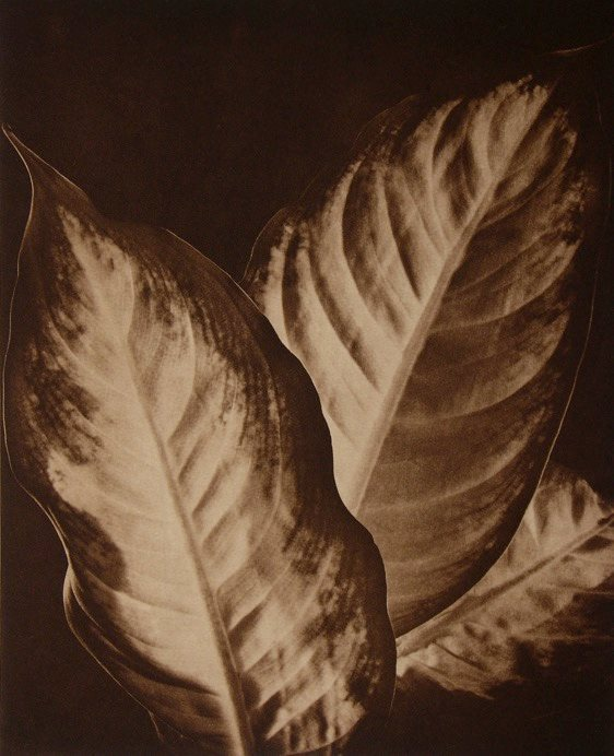 DIEFFENBACHIA by Wills F. Lee