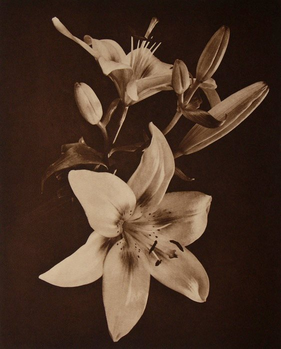 Enchantment Lily II