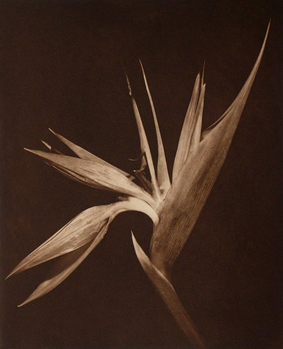 Bird of Paradise Willis F. Lee